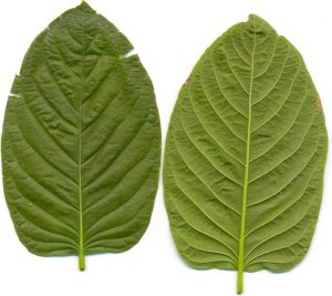 kratomgadens-kratom-leafes