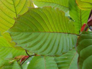 horned leaf